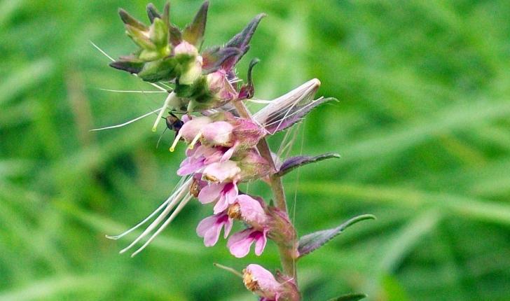 Odontites vernus (Dumort, 1827)