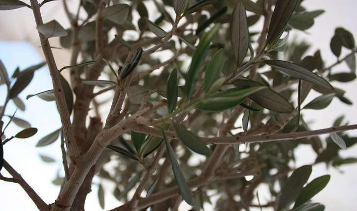 Olea europaea (L., 1753)