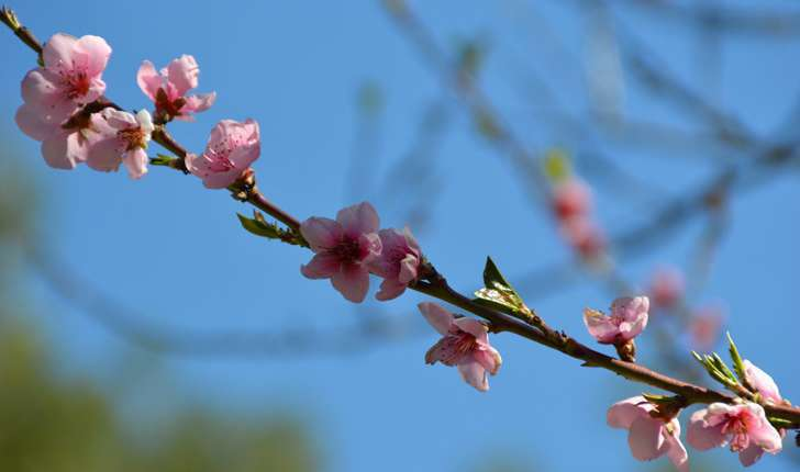 Prunus persica ((L.) Batsch, 1801)