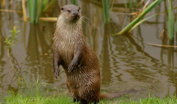 Loutre commune (Crédits : Peter Trimming - Flickr)