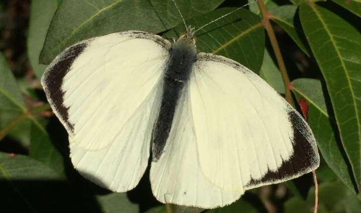 Pieris brassicae (Linné, 1758)