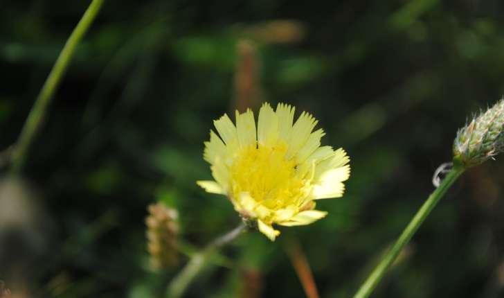Pilosella officinarum (FW Scultz, 1862)