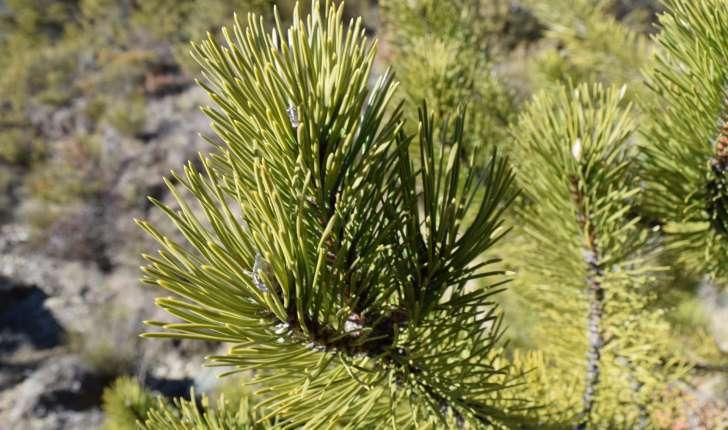 Pinus nigra(J.F.Arnold, 1785)