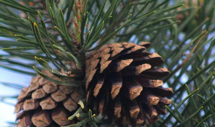 Pinus sylvestris (L., 1753)
