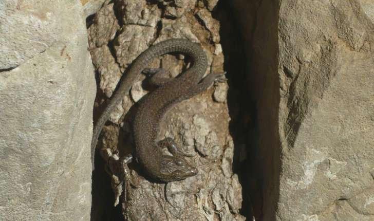 Podarcis liolepsis (Boulenger 1905)