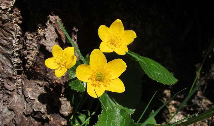 Caltha palustris (L., 1753)