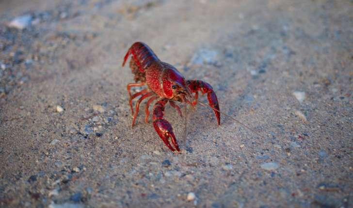 Procambarus clarkii (Girard, 1852)