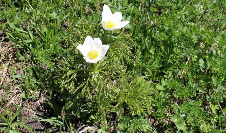 Anemone alpina L., 1753