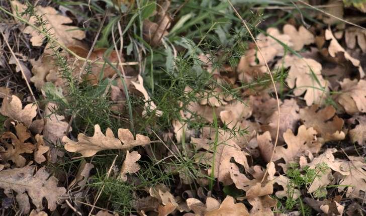 Genista scorpius