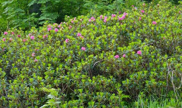 Rhododendron ferrugineum (L., 1753)