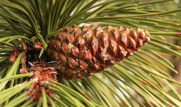 Pinus nigra subsp. laricio (Maire,1928)