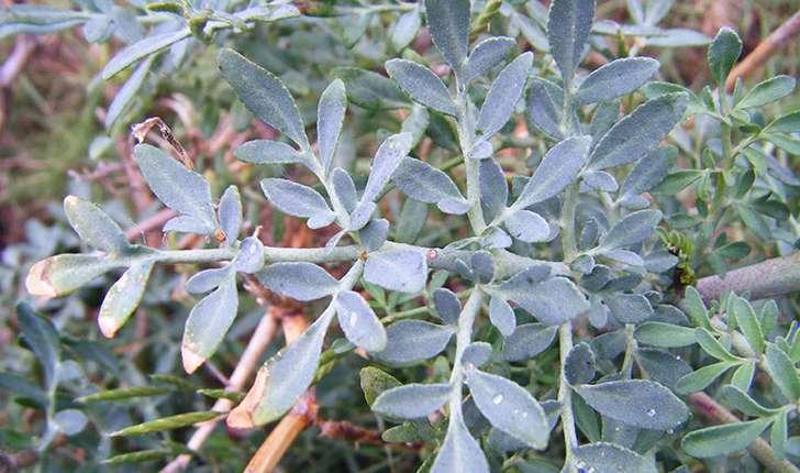 Ruta angustifolia (Person, 1805)
