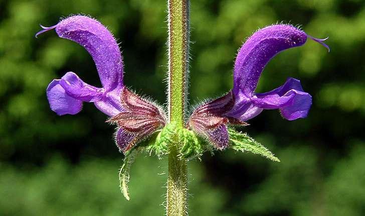 Salvia pratensis (L., 1753)