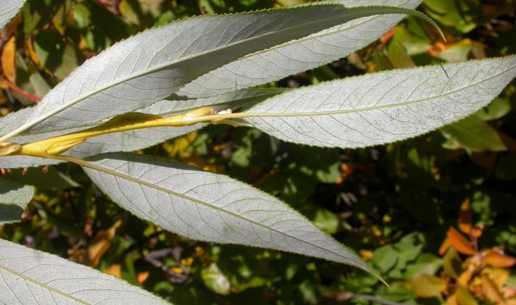 Salix fragilis, Linné 1753