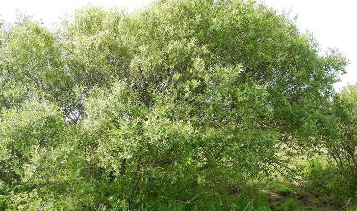 Salix caprea (L., 1753)