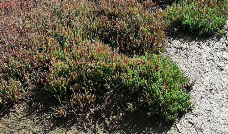 Salicornia europaea (Linné, 1753)