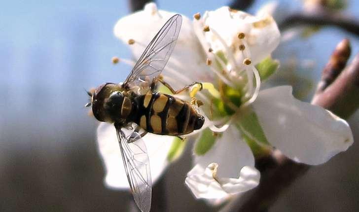 Syrphidae sp.