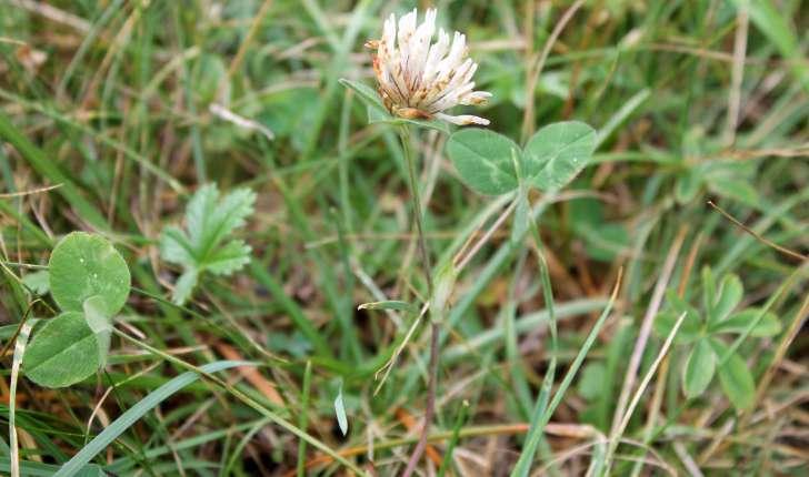 Trifolium ochroleucon (Huds., 1762)