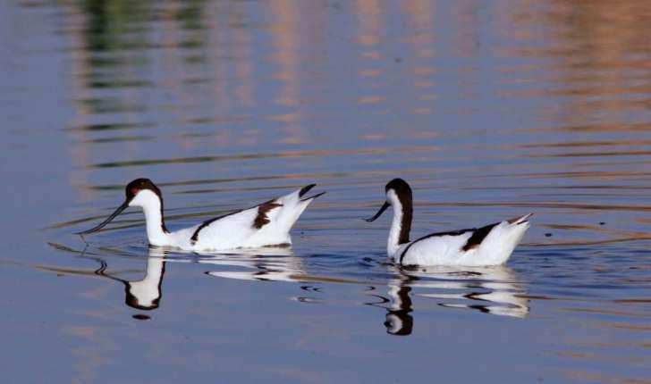 Recurvirostra avosetta (Linnaeus, 1758)