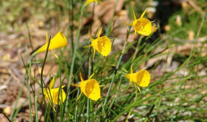 Narcissus bulbocodium (L., 1753)