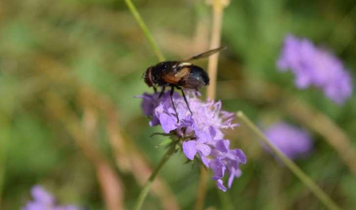 Volucella pellucens (Linnaeus 1758)