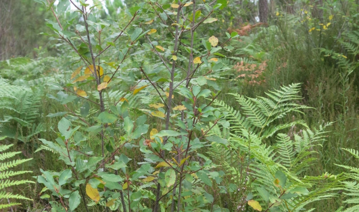Bourdaine - crédit Parc Naturel Régional des Landes de Gascogne