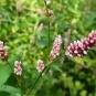 Renouée persicaire-Persicaria maculosa (crédit: Floratrek)