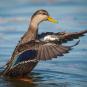 Canard noir. Crédits : Saint-Pierre-et-Miquelon