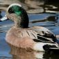 Canard d'Amérique mâle. Crédits : Saint-Pierre-et-Miquelon