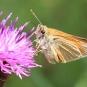 Hespérie de la houque-Thymelicus sylvestris (crédit: Quessoy)
