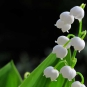 muguet-sauvage-credit-to.wi