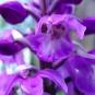 Orchis mâle. Crédit : Gail Hampshire - Flickr